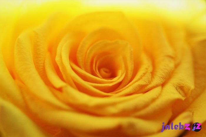 گاری گل رز زرد؛ زیباترین گلهای رز زرد