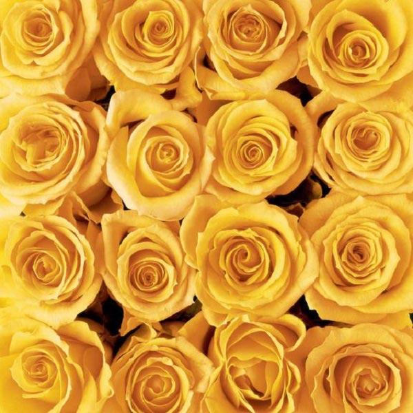 عکس گل رز زرد هلندی