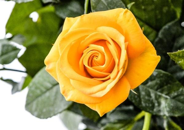 زیباترین عکس گل رز زرد