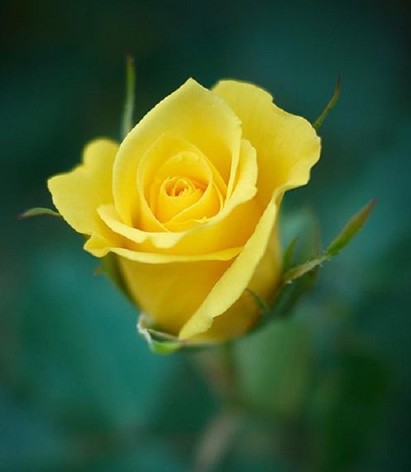 عکس گل رز زرد زیبا