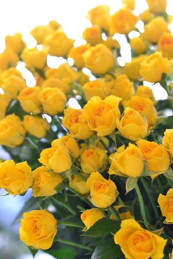 عکس دسته گل رز زرد عاشقانه