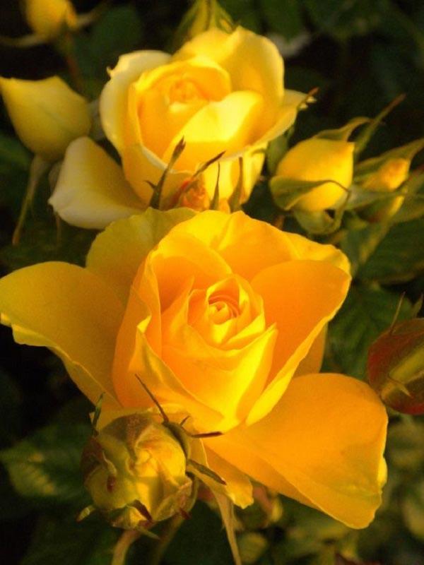 عکس گل رز زرد خوشگل