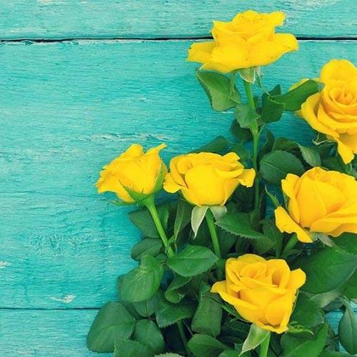 تصاویر گل رز زرد رنگ