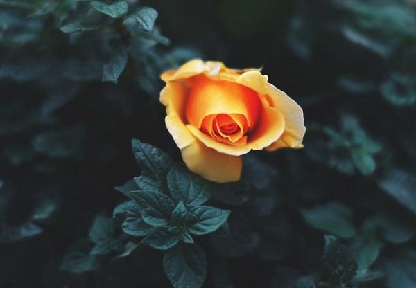 عکس یک شاخه گل رز زرد