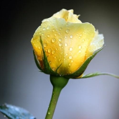 عکس های زیبا از گل رز زرد