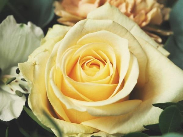 عکس تک شاخه گل رز زرد