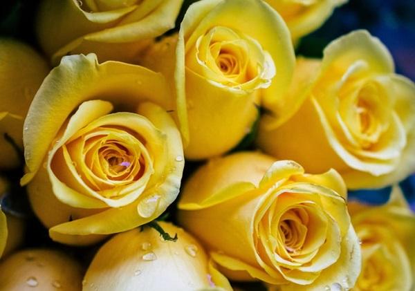 عکس های گل رز هلندی تازه