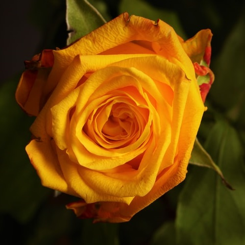 دانلود عکس گل رز زرد زیبا