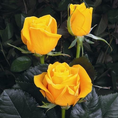 تصاویر گل رز زرد